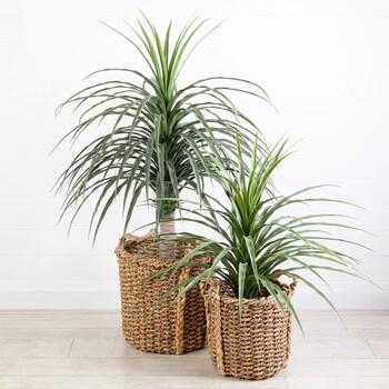 Single Yucca Plant by M.U.S.E.